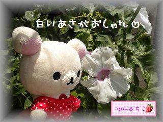 ちこちゃんのあさがお観察日記★12★白いの咲いたよ-3