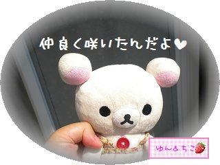 ちこちゃんのあさがお観察日記★13★並んで咲いたよ-1