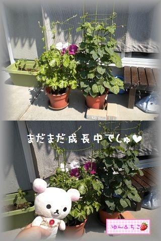 ちこちゃんのあさがお観察日記★13★並んで咲いたよ-5
