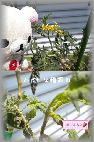 ちこちゃんの観察日記2011★17★収穫量が多くなったよ~-2