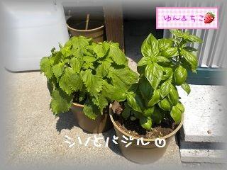 ちこちゃんの観察日記2011★17★収穫量が多くなったよ~-4