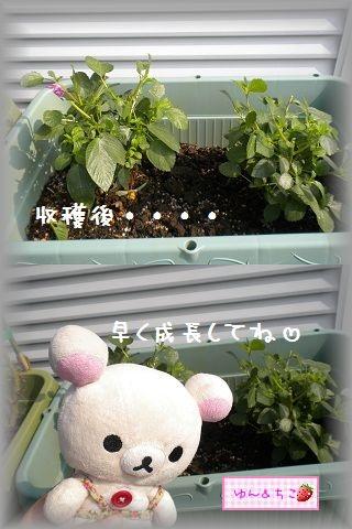 ちこちゃんの観察日記★18★モロヘイヤ初収穫♪-5