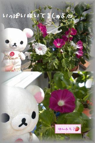 ちこちゃんのあさがお観察日記★15★あさがおさんいっぱい咲いてるよ★-2