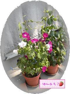 ちこちゃんのあさがお観察日記★15★あさがおさんいっぱい咲いてるよ★-3