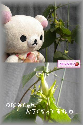 ちこちゃんのあさがお観察日記★15★あさがおさんいっぱい咲いてるよ★-4