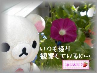ちこちゃんのあさがお観察日記★17★新事実発覚♪-1