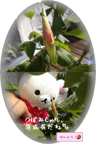 ちこちゃんのあさがお観察日記★18★つぼみ急成長♪-5