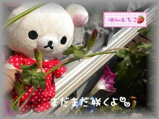 ちこちゃんのあさがお観察日記★18★つぼみ急成長♪-4