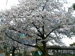 KOSHIENSAKURA.jpg